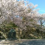 萩城のサクラ