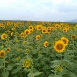 山口県山陽小野田市の190号線沿いにある花の海続編70万本のひまわり🌻